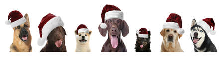 Set of adorable dogs in Santa hats on white background 版權商用圖片