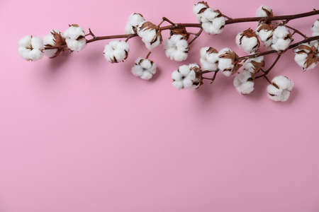Flat lay composition with branches of cotton plant on pink background. Space for text