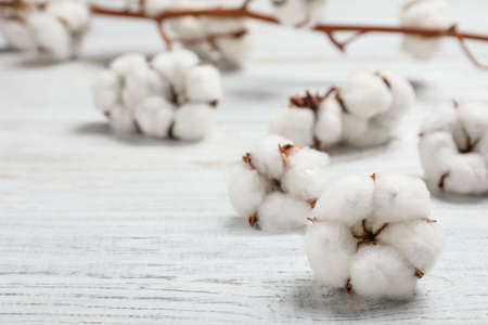 Fluffy cotton flowers on white wooden background, closeup