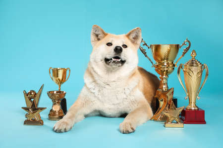 Adorable Akita Inu dog with champion trophies on light blue background Stock fotó