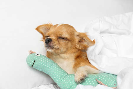 Cute small Chihuahua dog with toy sleeping on bed