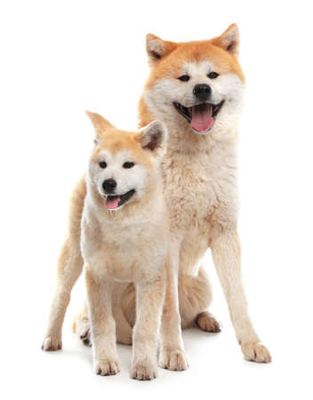 Adorable Akita Inu dog and puppy isolated on white 版權商用圖片 - 130074398