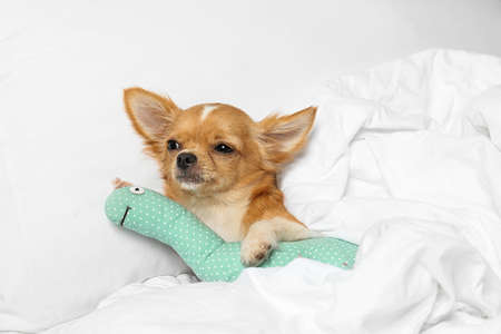 Cute sleepy small Chihuahua dog with toy in bed