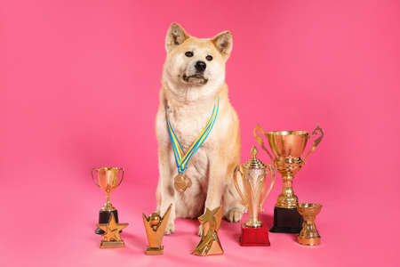 Adorable Akita Inu dog with champion trophies and medals on pink background