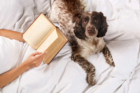 Adorable Russian Spaniel with owner in bed, closeup view