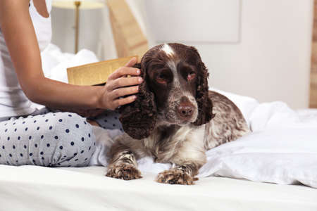 Adorable Russian Spaniel with owner on bed, closeup view. Space for text