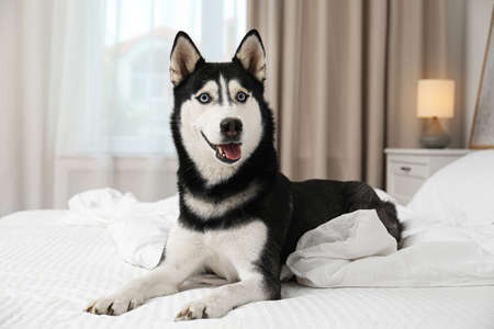 Cute Siberian Husky dog on bed at home