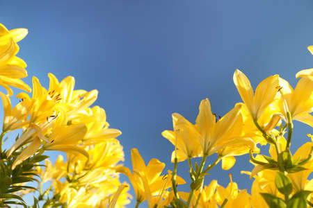 Beautiful yellow lilies in blooming field against blue sky. Space for text