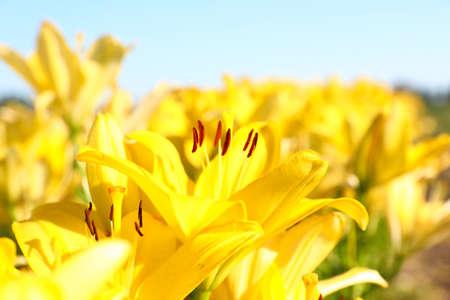 Beautiful bright yellow lilies growing at flower field, closeup Reklamní fotografie - 130071286