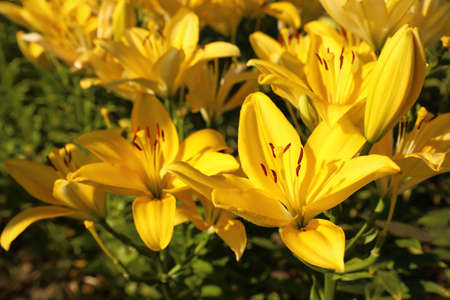 Beautiful yellow lilies in blooming field on summer day Stock Photo