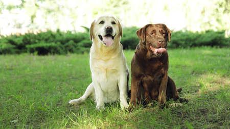 Funny Labrador Retriever dogs in green summer park