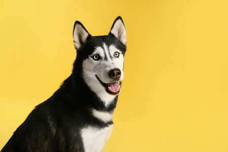 Cute Siberian Husky dog on yellow background. Space for text