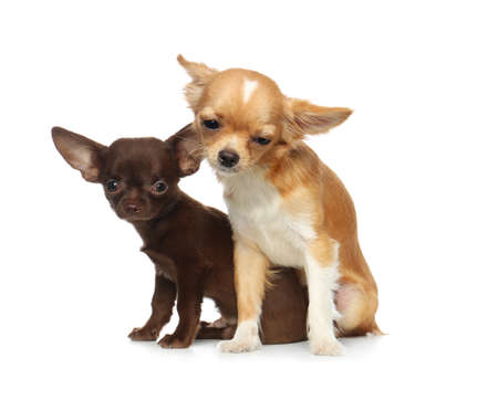 Cute small Chihuahua dogs on white background Stok Fotoğraf