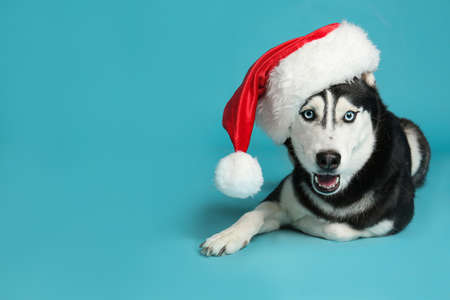 Cute Siberian Husky dog in Santa hat on blue background. Space for text