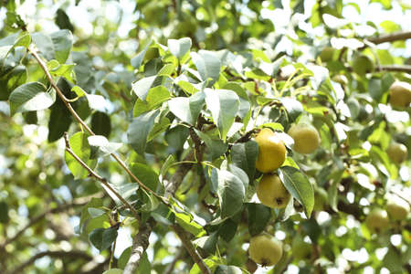 Pear tree with fruits on sunny day Stockfoto