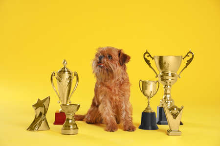 Cute Brussels Griffon dog with champion trophies on yellow background
