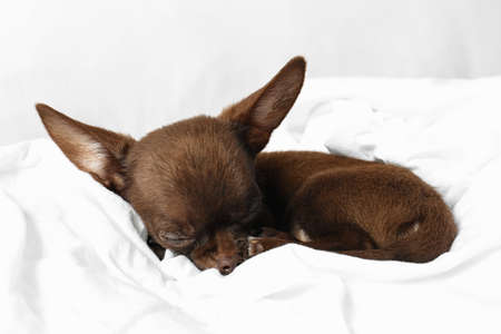 Cute small Chihuahua dog sleeping on bed