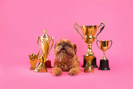 Cute Brussels Griffon dog with champion trophies on pink background