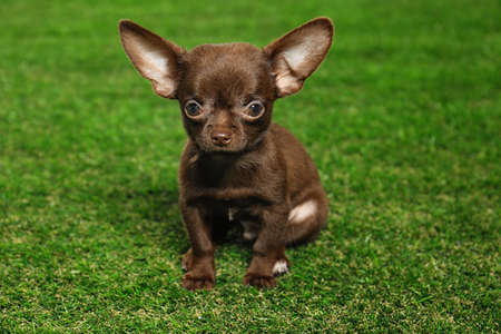 Cute small Chihuahua dog on green grass