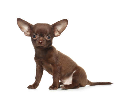 Cute small Chihuahua dog on white background Stok Fotoğraf