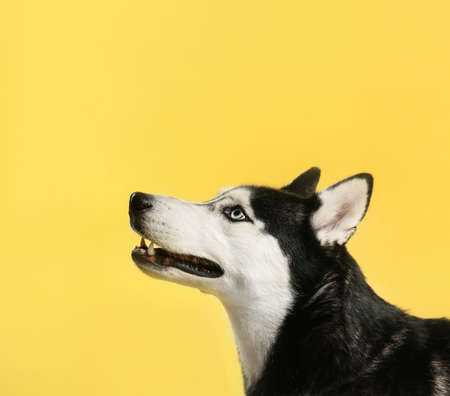 Cute Siberian Husky dog on yellow background