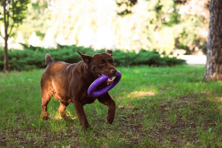 Funny Chocolate Labrador Retriever with toy in green summer park Фото со стока - 130133600