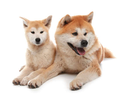 Adorable Akita Inu dog and puppy isolated on white
