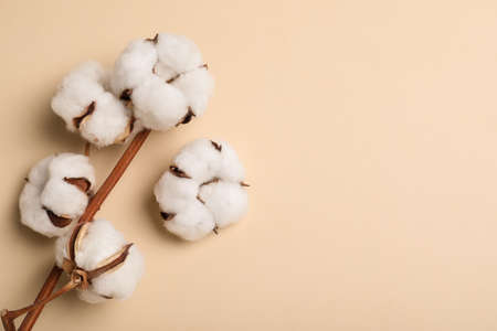 Fluffy cotton flowers on beige background, top view. Space for text Stock fotó