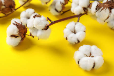 Fluffy cotton flowers on yellow background, closeup