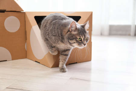 Cute gray tabby cat playing with cardboard box in room. Lovely pet