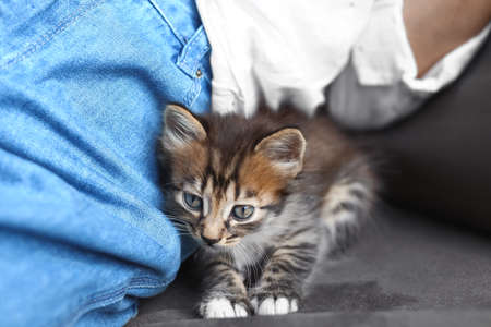 Cute little striped kitten near owner at home, closeup view Zdjęcie Seryjne