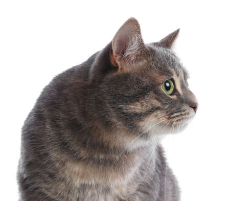 Cute gray tabby cat on white background. Lovely pet