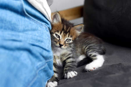 Cute little striped kitten near owner at home, closeup view