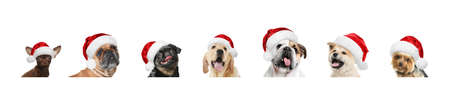 Set of adorable dogs in Santa hats on white background 스톡 콘텐츠