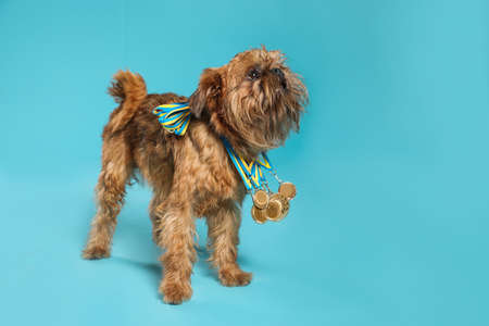 Cute Brussels Griffon dog with champion medals on light blue background