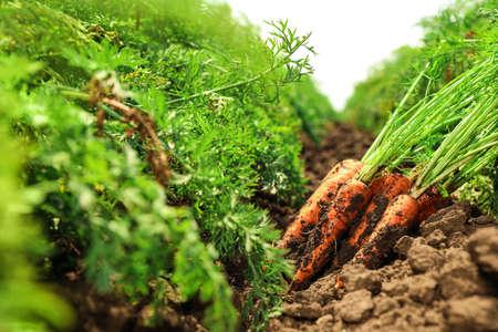 Pile of fresh ripe carrots on field. Organic farming