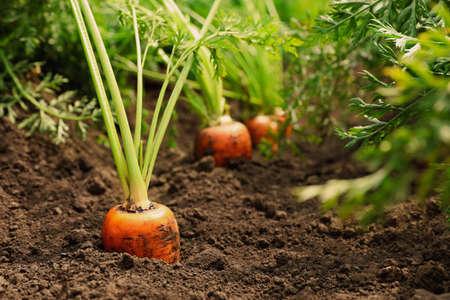 Ripe carrots growing on field. Organic farming