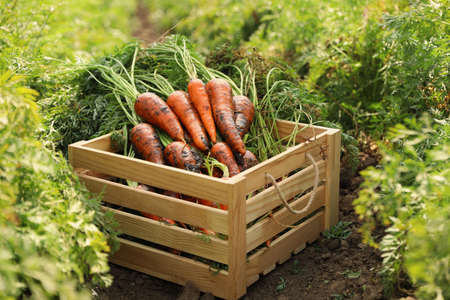Wooden crate of fresh ripe carrots on field. Organic farming Reklamní fotografie
