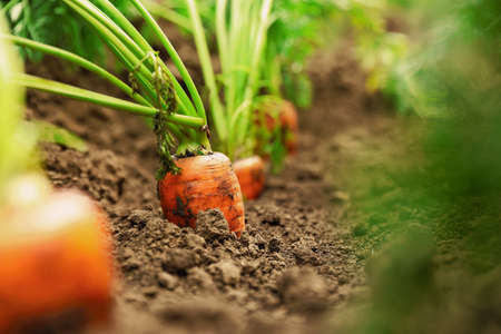 Ripe carrots growing in soil, closeup. Organic farming