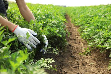 Woman gathering fresh green parsley in field, closeup. Organic farming