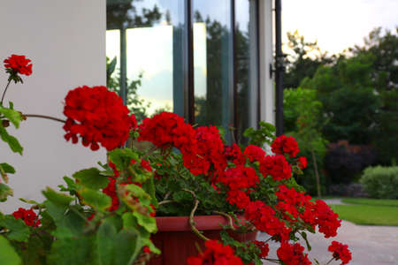 Red potted geranium at house near modern garden Фото со стока