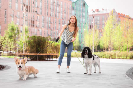 Woman walking Pembroke Welsh Corgi and English Springer Spaniel dogs outdoors Banco de Imagens