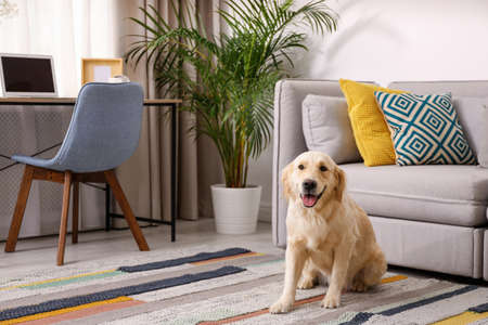 Modern living room interior. Cute Golden Labrador Retriever near couch 写真素材