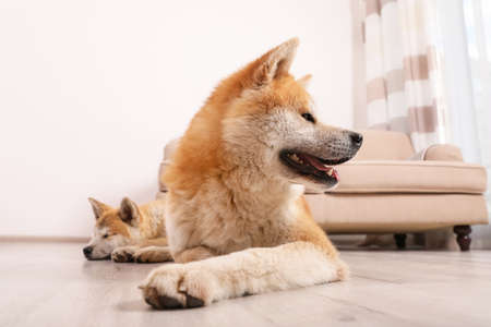 Adorable Akita Inu dog and puppy on floor in living room Stock Photo