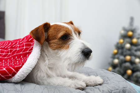 Cute Jack Russell Terrier dog under blanket on bed in room decorated for Christmas, space for text. Cozy winter