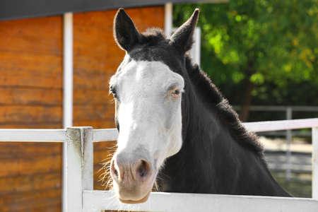 Splashed white horse at light fence outdoors