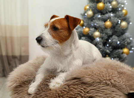 Cute Jack Russell Terrier dog on fur rug in room decorated for Christmas. Cozy winter