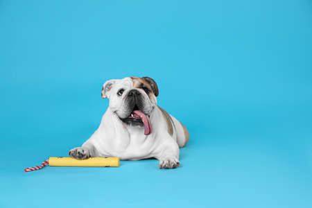 Adorable funny English bulldog with toy on light blue background. Space for text