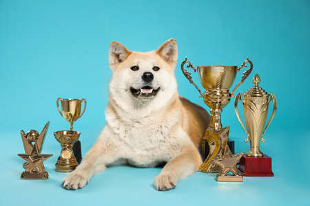 Adorable Akita Inu dog with champion trophies on light blue background Stockfoto