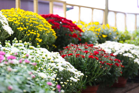 Assortment of beautiful blooming chrysanthemum flowers on shelves